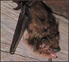 Mooresville NC Lake Norman area Bat removal and Bat Control