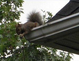 Getting Rid of Squirrels in Davidson North Carolina
