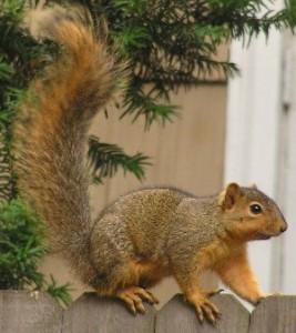 Squirrel Exterminator Charlotte NC