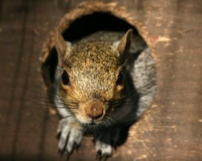Squirrel Removal Huntersville NC
