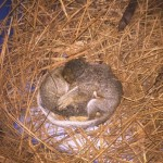 Baby Squirrels in the Attic Davidson NC