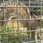 Squirrel Control Removal
