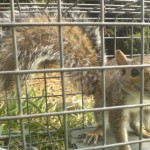 How to get rid of squirrels in Mooresville NC.