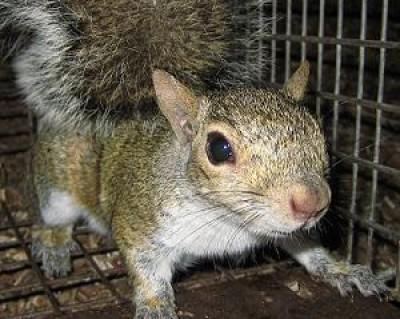 Squirrel Removal Charlotte North Carolina