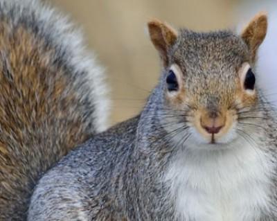 Squirrel Control, Squirrel Removal NC