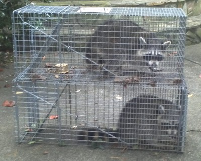 Charlotte Raccoon Removal