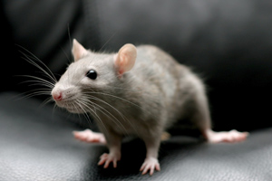 Mice Removal & Rodent Control