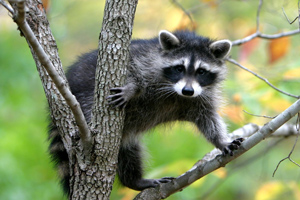 Raccoon Removal Raccoon Control